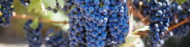 Branża winiarska stawia na ekologiczną produkcję